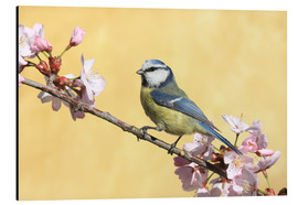 Stampa su alluminio  Blue tit on a branch of cherry - Uwe Fuchs
