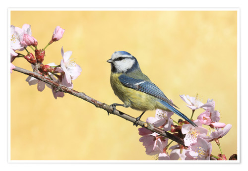 Poster Premium Blue tit on a branch of cherry