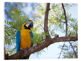 Vetro acrilico  Blue and yellow macaw - Alex Saberi