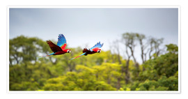 Poster  Red-and-green-macaws flying home - Alex Saberi