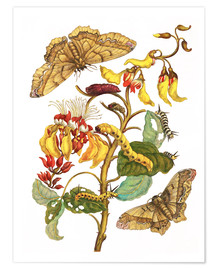 Poster  Coral tree and silkworm - Maria Sibylla Merian