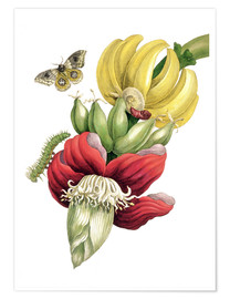 Poster  Flowering banana and Automeris - Maria Sibylla Merian