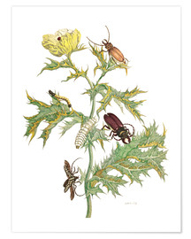Poster Premium  Mexican Prickly Poppy and longhorn beetles - Maria Sibylla Merian