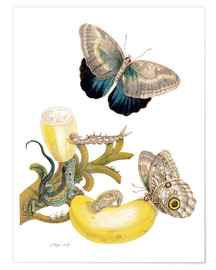 Poster Premium  Banana fruit and Caligo - Maria Sibylla Merian