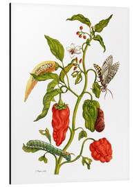 Stampa su alluminio  Peppers and insects - Maria Sibylla Merian