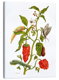 Stampa su tela  Peppers and insects - Maria Sibylla Merian