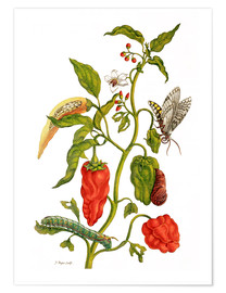 Poster  Peppers and insects - Maria Sibylla Merian
