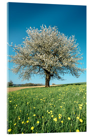 Stampa su vetro acrilico  Blossoming cherry tree in spring on green field with blue sky - Peter Wey