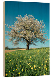 Stampa su legno  Blossoming cherry tree in spring on green field with blue sky - Peter Wey