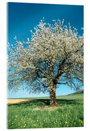 Vetro acrilico  Blossoming cherry tree in spring on green field with blue sky - Peter Wey