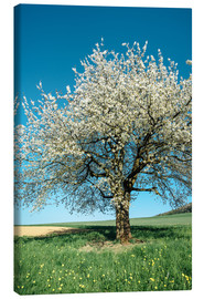 Stampa su tela  Blossoming cherry tree in spring on green field with blue sky - Peter Wey