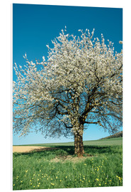 Stampa su schiuma dura  Blossoming cherry tree in spring on green field with blue sky - Peter Wey