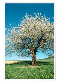 Poster Premium Blossoming cherry tree in spring on green field with blue sky