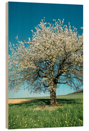 Legno  Blossoming cherry tree in spring on green field with blue sky - Peter Wey