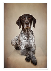 Poster Premium German shorthaired pointer / 1