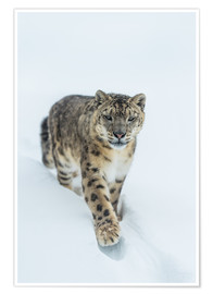Poster  Snow Leopard in deep snow - Ingo Gerlach