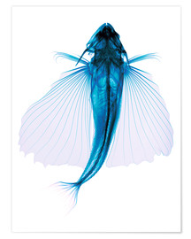 Poster  Flying fish, X-ray - D. Roberts