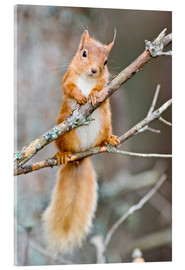 Stampa su vetro acrilico  Red squirrel on a branch - Duncan Shaw