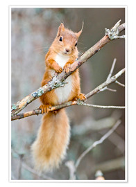 Poster Premium  Red squirrel on a branch - Duncan Shaw