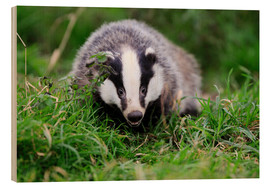 Stampa su legno  Badger sneaking through the grass - Colin Varndell