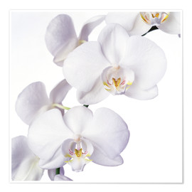 Poster Premium  Orchid flowers - Johnny Greig