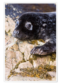 Poster  Grey seal pup - Duncan Shaw