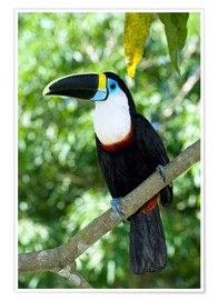 Poster Premium  White-throated toucan - Tony Camacho