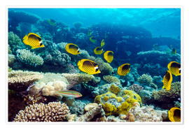 Poster Premium  Red Sea raccoon butterflyfish - Georgette Douwma