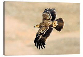 M. Schaef - Eastern imperial eagle in flight