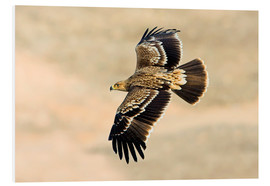 Stampa su schiuma dura  Eastern imperial eagle in flight - M. Schaef