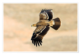 Poster Premium  Eastern imperial eagle in flight - M. Schaef