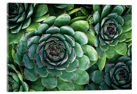 Vetro acrilico  'Hens and chicks' succulents - Kaj R. Svensson