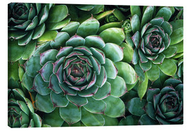 Stampa su tela  'Hens and chicks' succulents - Kaj R. Svensson