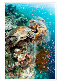 Poster Premium  Green turtle - Matthew Oldfield
