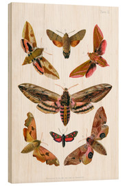 Stampa su legno  British moths