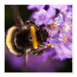 Poster  Bumble bee collecting pollen - Power and Syred