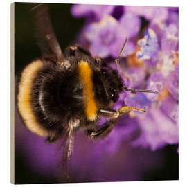 Legno  Bumble bee collecting pollen - Power and Syred