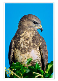 Poster Premium  Common buzzard - David Aubrey