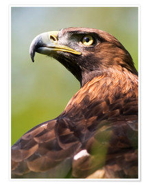 Poster Premium  Golden eagle - Denise Swanson