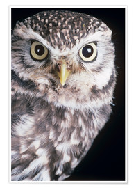 Poster Premium Little owl