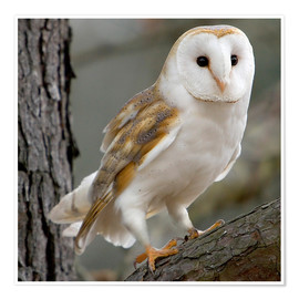 Poster Premium Portrait of a Barn Owl