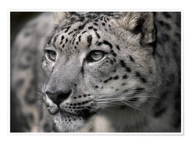 Poster  Snow leopard - Linda Wright