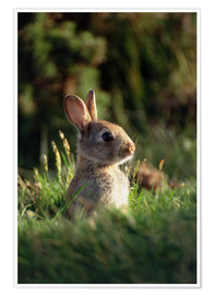 Poster Premium European rabbit