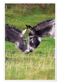 Poster Premium  Donkeys touching noses - Duncan Shaw