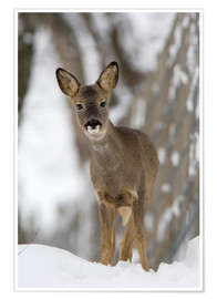 Poster  Roe deer in winter - Duncan Shaw