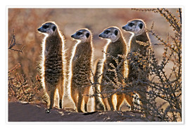 Poster Premium  Meerkats on guard duty - Tony Camacho