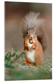 Stampa su vetro acrilico  Red squirrel eating a hazel nut - Duncan Shaw
