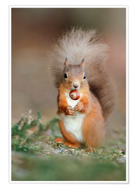 Poster Premium Red squirrel eating a hazel nut