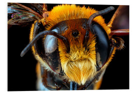 Schiuma dura  Male bee head
