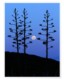 Luis Argerich - Full Moon and agave trees